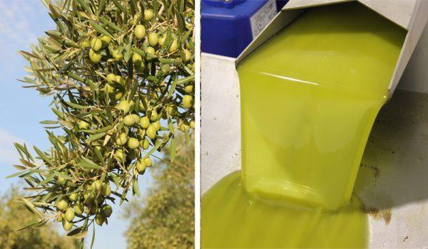 Aceite de oliva sin filtrar vs aceite de oliva filtrado: ¿Cuál es el mejor?