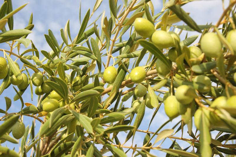 Aceitunas para el aceite de oliva verde