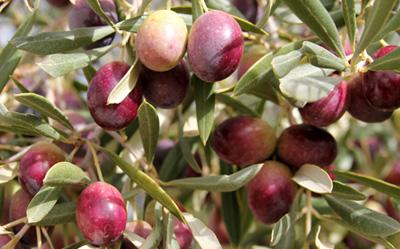 Aceituna variedad Grossal o Rojal de Alicante