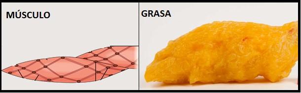 diferencia entre músculo y grasa