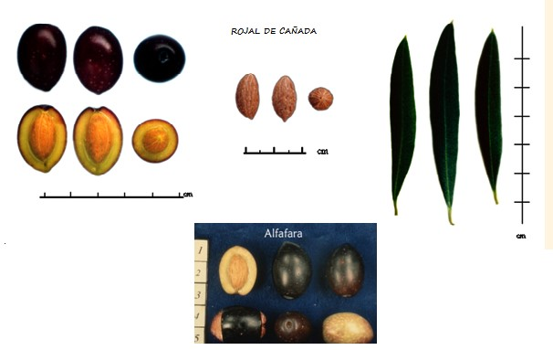diferencias entre aceituna rojal de alicante y alfafarenca