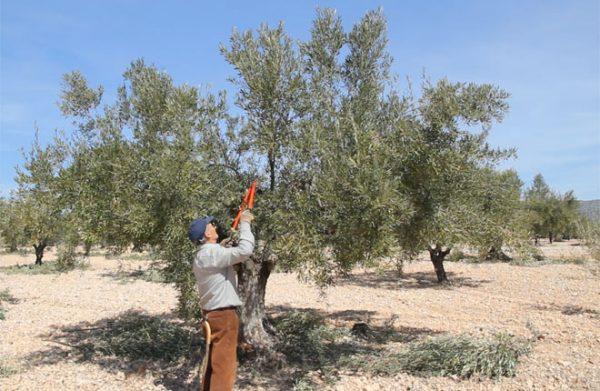 El olivar valor social y ecológico, el Alto Vinalopó
