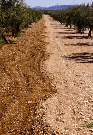 El olivar del Alto Vinalopó