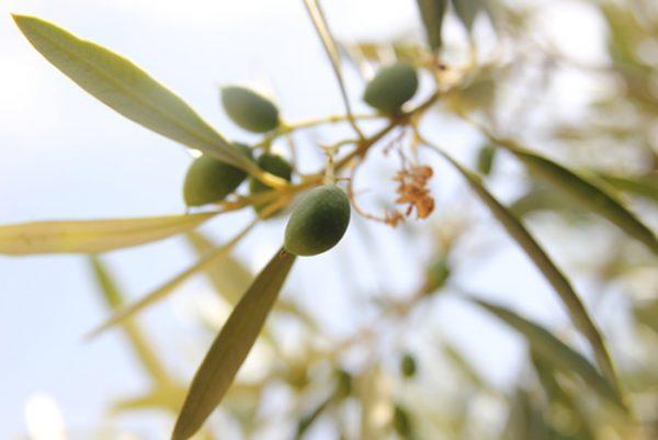 El olivar ecológico, conoce sus beneficios y su gestión