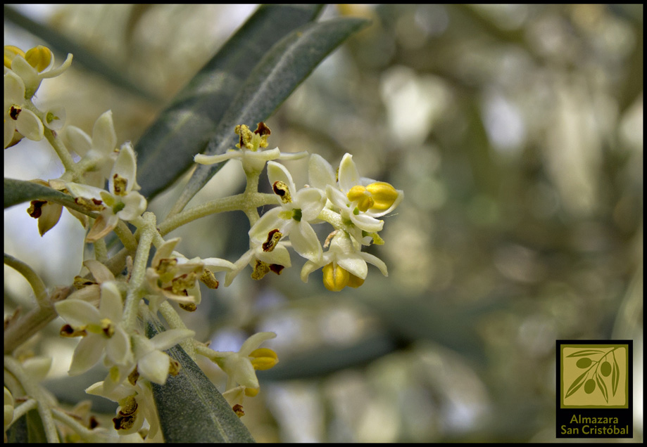 fenología floración olivar