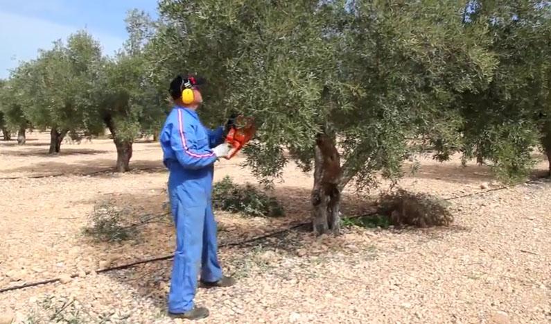 la poda del olivo