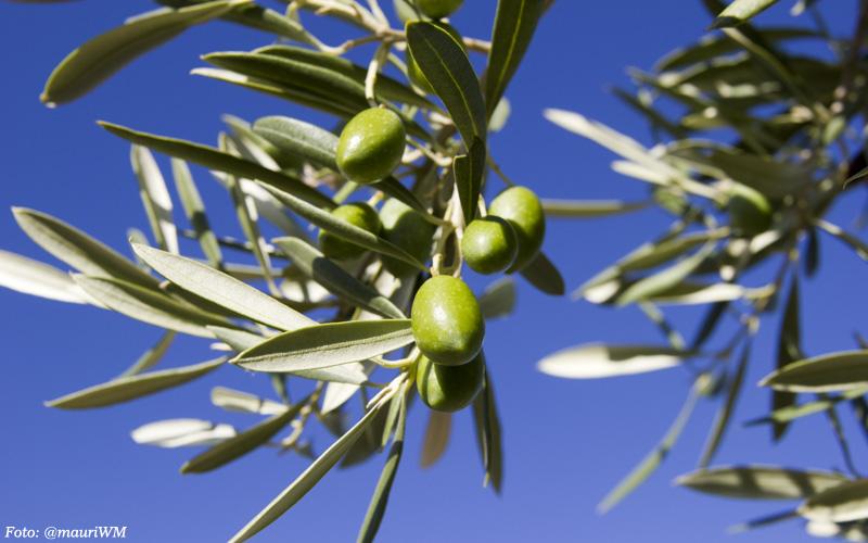 olivar picual