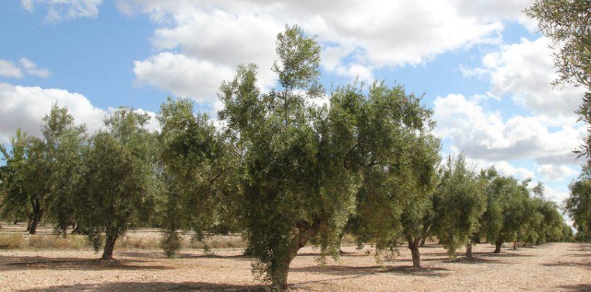 Conoce las plagas del olivo y cómo combatirlas