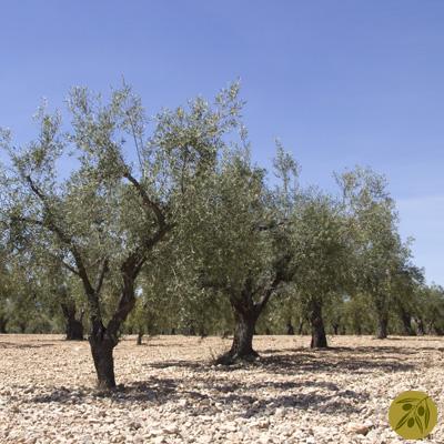 Usos del olivo